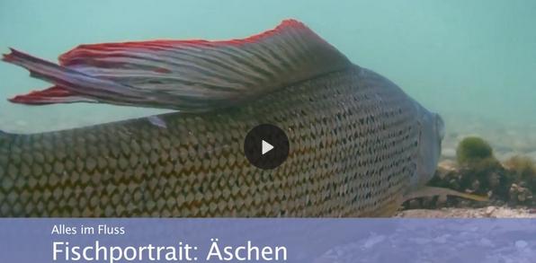 Lippe / Fischportrait: Äschen