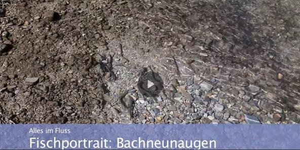 Lippe / Fischportrait Bachneunaugen